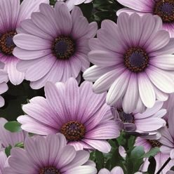 Остеосперум Cape Daisy Purple Illumination