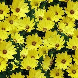 Остеосперум Cape Daisy Yellow Halo